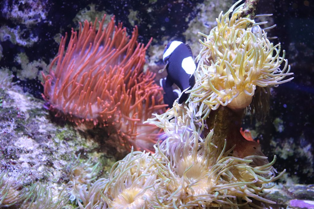 anemone-seaquarium-grau-du-roi