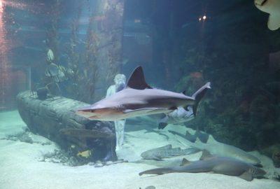 requin-seaquarium