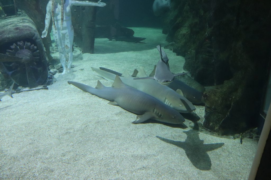 requins-grau-du-roi