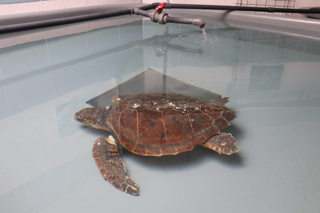 tortue-de-mer-blessée