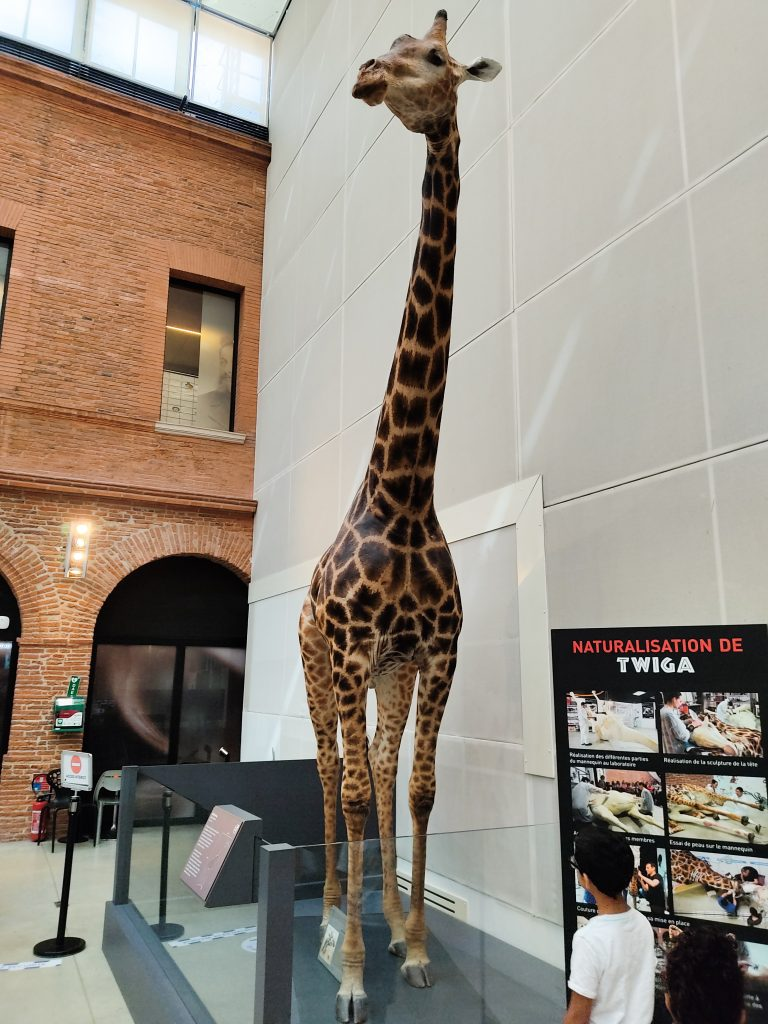 musee-histoire-naturelle-toulouse-girafe